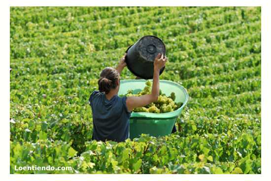 Trabajar en la vendimia francesa